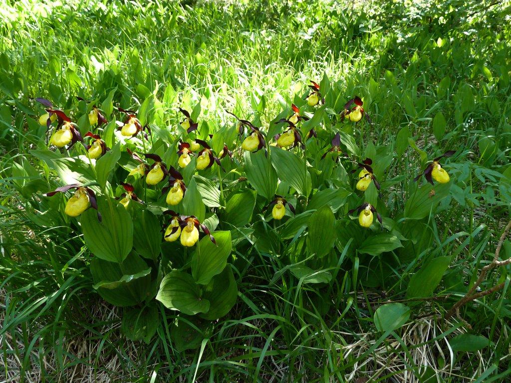 best website d9439 d0e81 Frauenschuhblüte- die wilde Orchidee - Gasthof Kaiserkrone